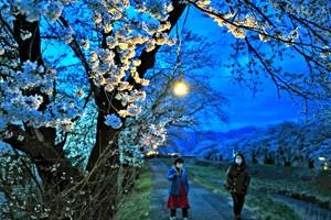 180406横河川の桜見頃