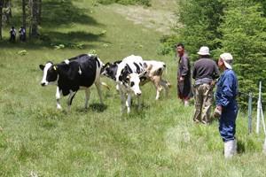 180613入笠牧場牛の入牧