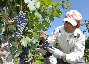 もみじ湖夢ワイン収穫191009・