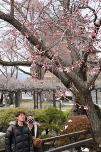 桜開花2020 のコピー