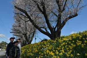 HP赤沼桜と水仙②200414