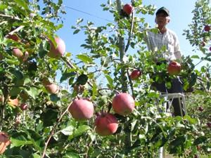 リンゴ収穫盛ん201013