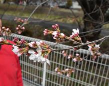 *210329横河川桜最速で開花③